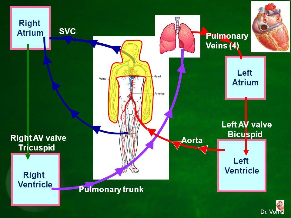 Dr. Vohra Right Atrium Left Ventricle Left Atrium Right Ventricle SVC IVC Aorta Pulmonary Veins (4) Pulmonary trunk Right AV valve Tricuspid Left AV v