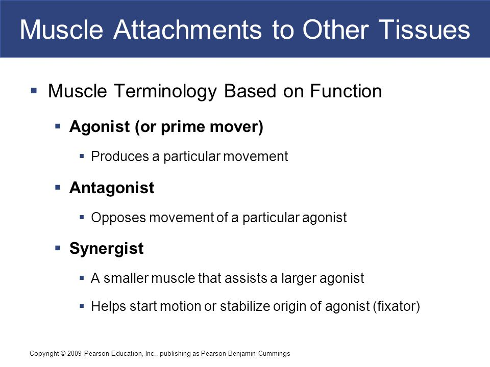 Copyright © 2009 Pearson Education, Inc., publishing as Pearson Benjamin Cummings Muscle Attachments to Other Tissues  Muscle Terminology Based on Fu