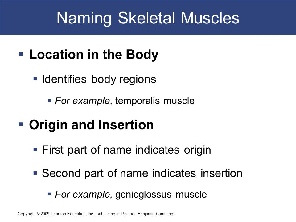 Copyright © 2009 Pearson Education, Inc., publishing as Pearson Benjamin Cummings Naming Skeletal Muscles  Location in the Body  Identifies body reg
