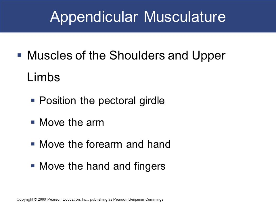 Copyright © 2009 Pearson Education, Inc., publishing as Pearson Benjamin Cummings Appendicular Musculature  Muscles of the Shoulders and Upper Limbs