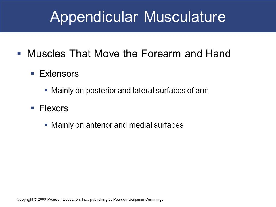 Copyright © 2009 Pearson Education, Inc., publishing as Pearson Benjamin Cummings Appendicular Musculature  Muscles That Move the Forearm and Hand 