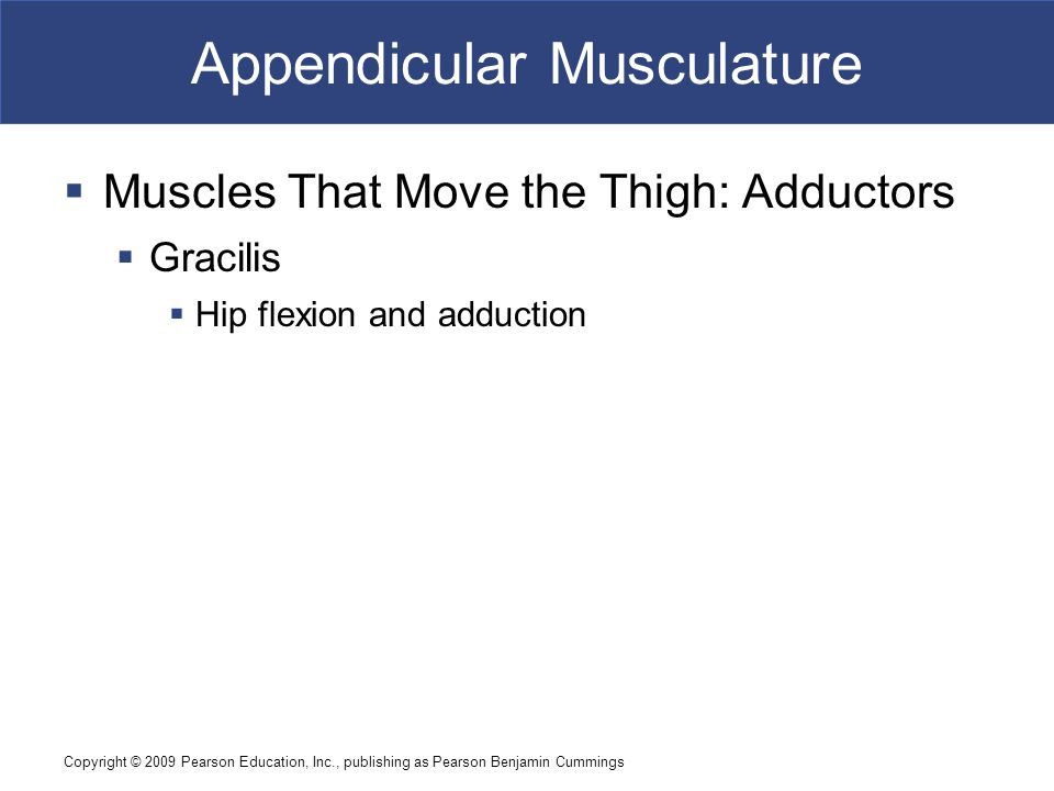Copyright © 2009 Pearson Education, Inc., publishing as Pearson Benjamin Cummings Appendicular Musculature  Muscles That Move the Thigh: Adductors 