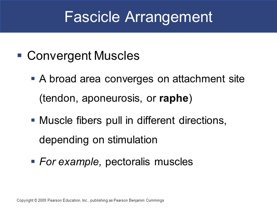 Copyright © 2009 Pearson Education, Inc., publishing as Pearson Benjamin Cummings Fascicle Arrangement  Convergent Muscles  A broad area converges o