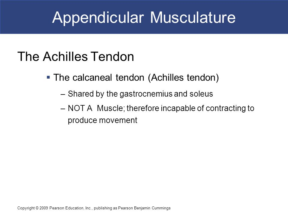 Copyright © 2009 Pearson Education, Inc., publishing as Pearson Benjamin Cummings Appendicular Musculature The Achilles Tendon  The calcaneal tendon