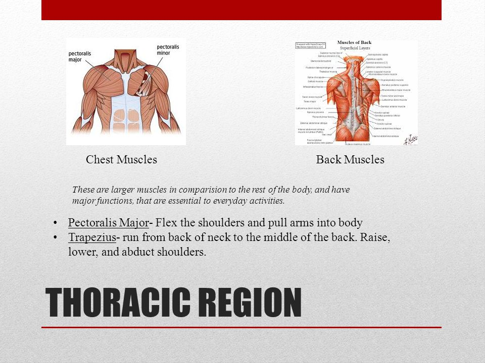 THORACIC REGION Chest MusclesBack Muscles Pectoralis Major- Flex the shoulders and pull arms into body Trapezius- run from back of neck to the middle