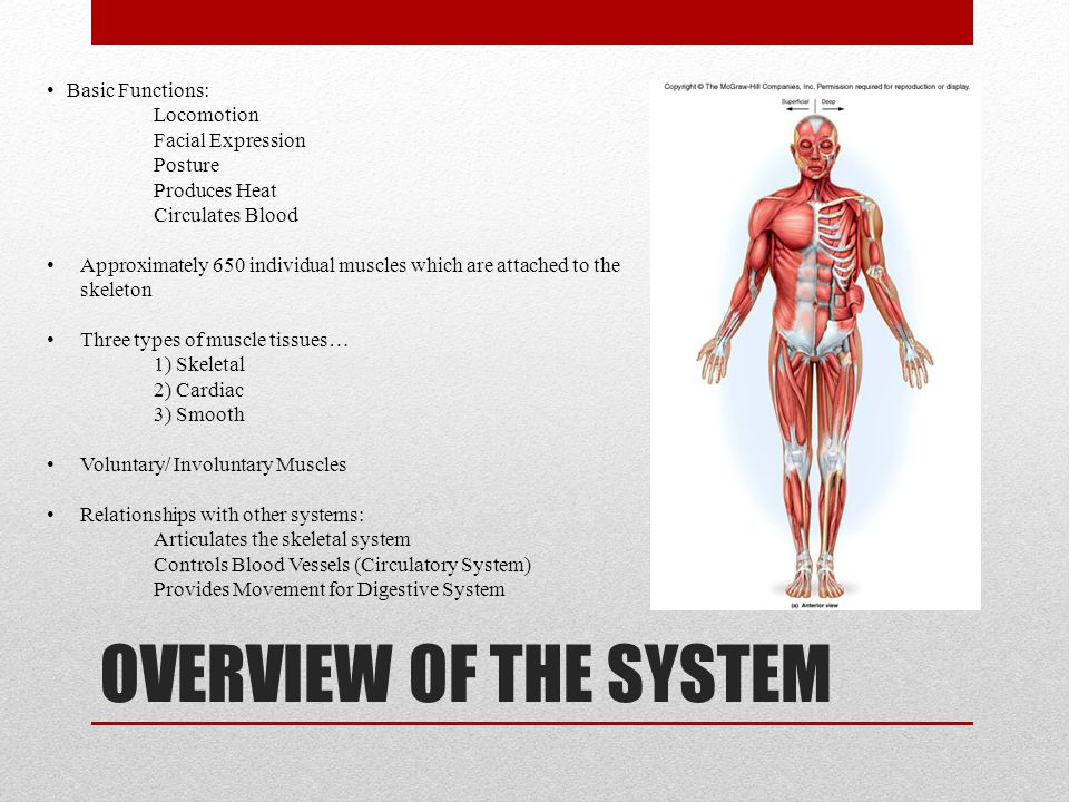 SKELETAL MUSCLE TISSUES 40% of an adults Human Body Weight Long Muscle Fibers Nervous Systems controls the contraction of the muscle Work in pairs (Bicep/ Tricep) Voluntary Muscle Multi-nucleated