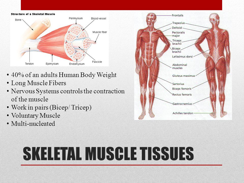 SKELETAL MUSCLE TISSUES 40% of an adults Human Body Weight Long Muscle Fibers Nervous Systems controls the contraction of the muscle Work in pairs (Bi