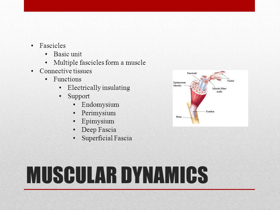 CONNECTIVE TISSUE Purpose Transmits kinetic energy Connective Structure Composed of extensions of connective tissue within the cell Both connective tissue and muscular fibers form an organ