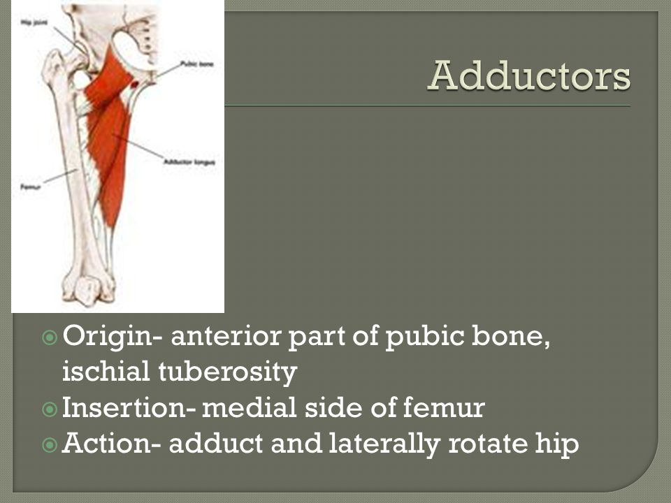  Origin- anterior part of pubic bone, ischial tuberosity  Insertion- medial side of femur  Action- adduct and laterally rotate hip