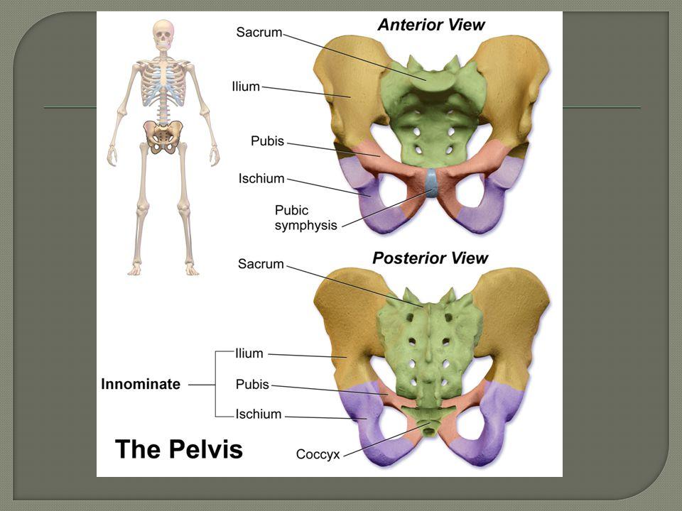 Origin- internal surface of sacrum  Insertion- greater trochanter of femur  Action- externally rotates hip, abducts thigh
