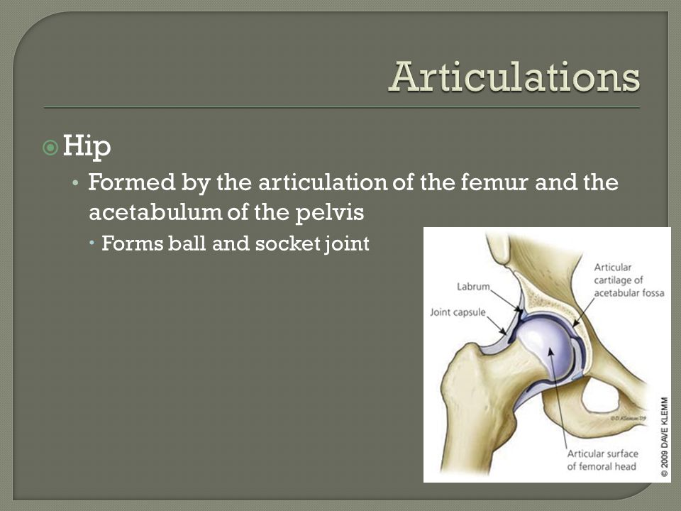  Hip Formed by the articulation of the femur and the acetabulum of the pelvis  Forms ball and socket joint