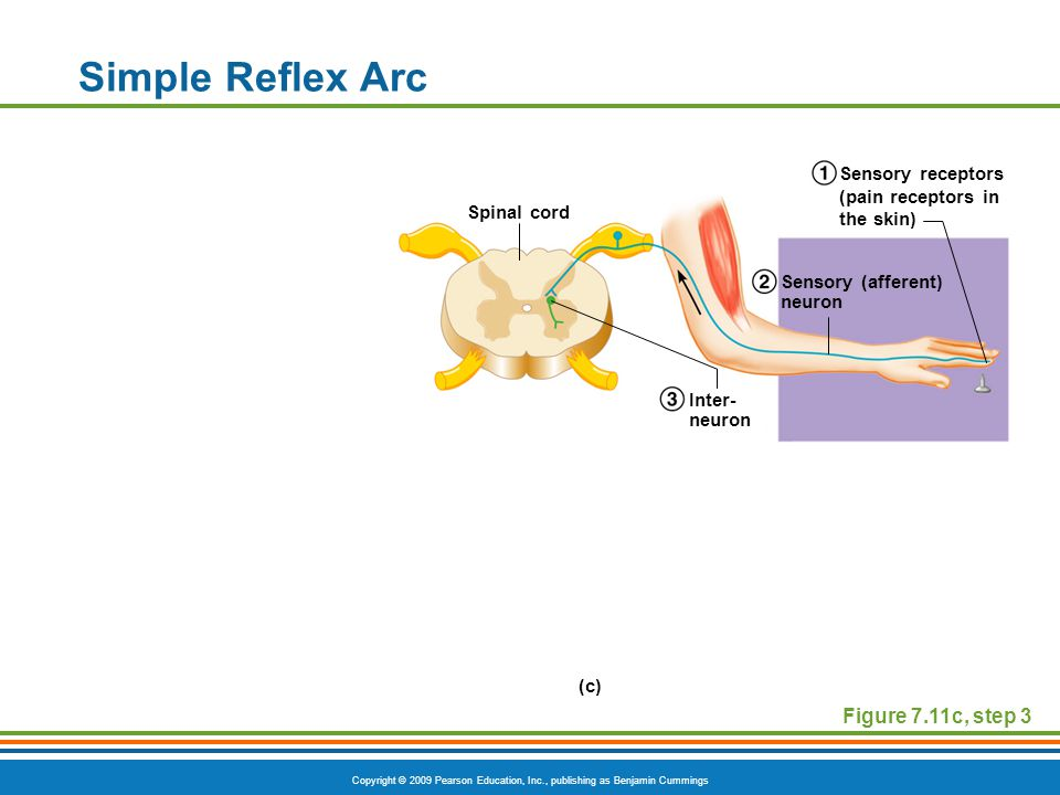 Copyright © 2009 Pearson Education, Inc., publishing as Benjamin Cummings Simple Reflex Arc Figure 7.11c, step 3 Spinal cord Inter- neuron Sensory (afferent) neuron Sensory receptors (pain receptors in the skin) (c)