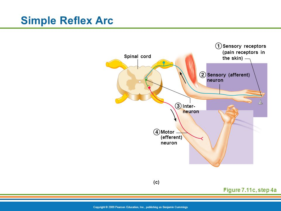 Copyright © 2009 Pearson Education, Inc., publishing as Benjamin Cummings Simple Reflex Arc Figure 7.11c, step 4a Spinal cord Inter- neuron Motor (efferent) neuron Sensory (afferent) neuron Sensory receptors (pain receptors in the skin) (c)