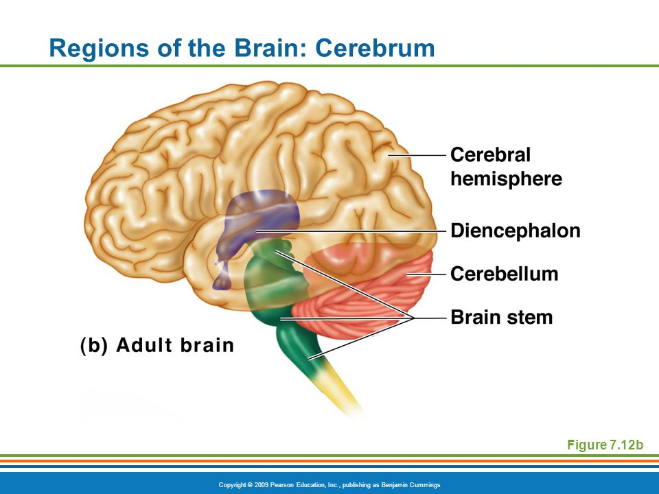 Copyright © 2009 Pearson Education, Inc., publishing as Benjamin Cummings Regions of the Brain: Cerebrum Figure 7.12b
