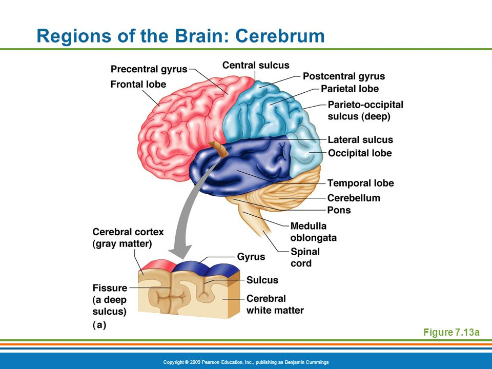 Copyright © 2009 Pearson Education, Inc., publishing as Benjamin Cummings Regions of the Brain: Cerebrum Figure 7.13a