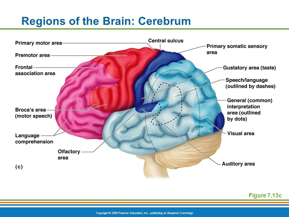 Copyright © 2009 Pearson Education, Inc., publishing as Benjamin Cummings Regions of the Brain: Cerebrum Figure 7.13c