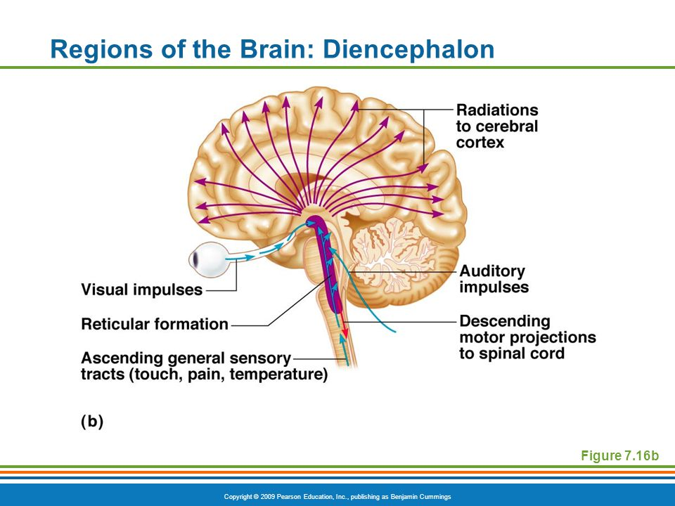 Copyright © 2009 Pearson Education, Inc., publishing as Benjamin Cummings Regions of the Brain: Diencephalon Figure 7.16b