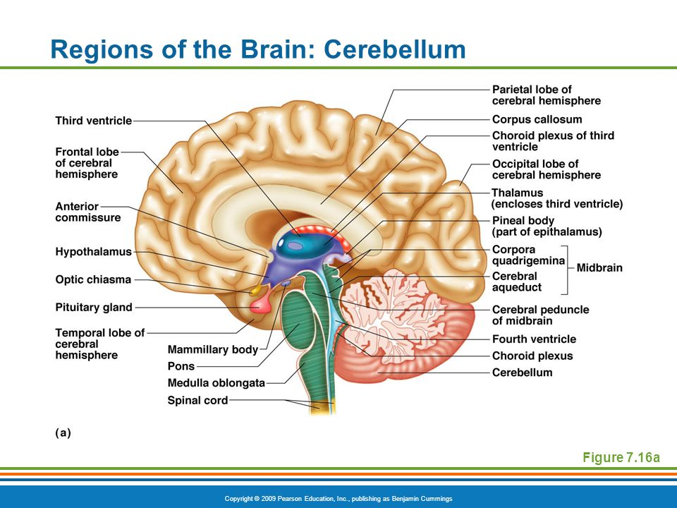 Copyright © 2009 Pearson Education, Inc., publishing as Benjamin Cummings Regions of the Brain: Cerebellum Figure 7.16a