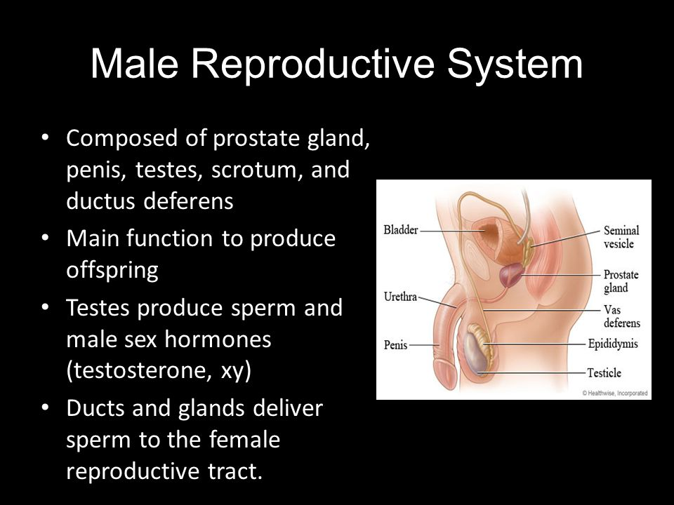Male Reproductive System Composed of prostate gland, penis, testes, scrotum, and ductus deferens Main function to produce offspring Testes produce spe