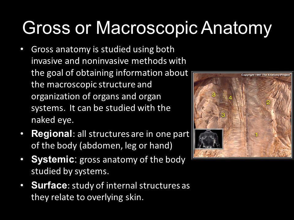 Gross or Macroscopic Anatomy Gross anatomy is studied using both invasive and noninvasive methods with the goal of obtaining information about the mac