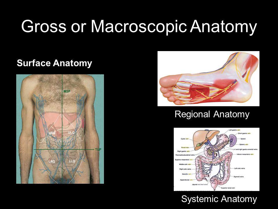 Gross or Macroscopic Anatomy Regional Anatomy Systemic Anatomy Surface Anatomy