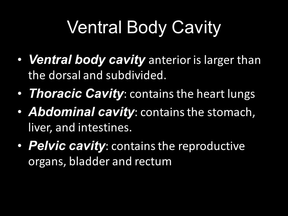 Ventral Body Cavity Ventral body cavity anterior is larger than the dorsal and subdivided. Thoracic Cavity : contains the heart lungs Abdominal cavity
