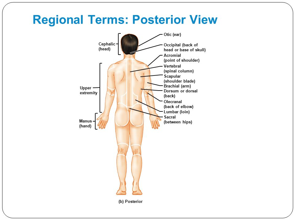 Regional Terms: Posterior View Brachial (arm) Otic (ear) Occipital (back of head or base of skull) Acromial (point of shoulder) Vertebral (spinal colu