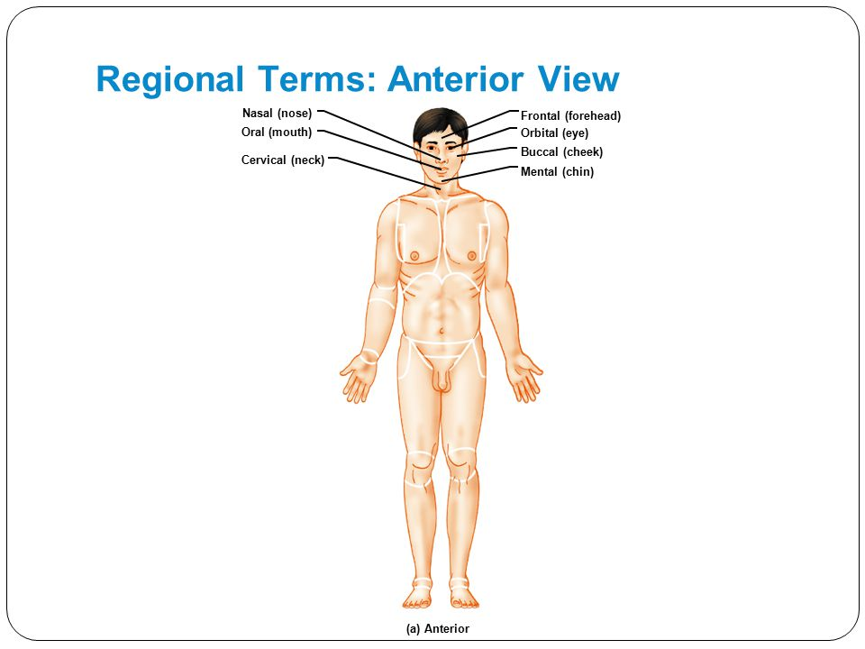 Unit 1 Organization of the Body ppt video online download – Body Regions Worksheet