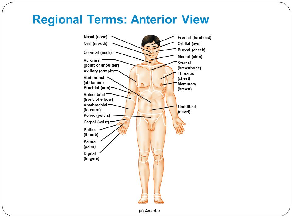 Regional Terms: Anterior View Nasal (nose) Oral (mouth) Cervical (neck) Acromial (point of shoulder) Axillary (armpit) Brachial (arm) Antecubital (fro