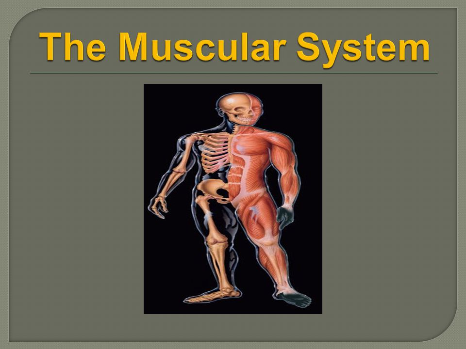  Bones require muscles for locomotion  Muscles move bone by contracting (shortening)
