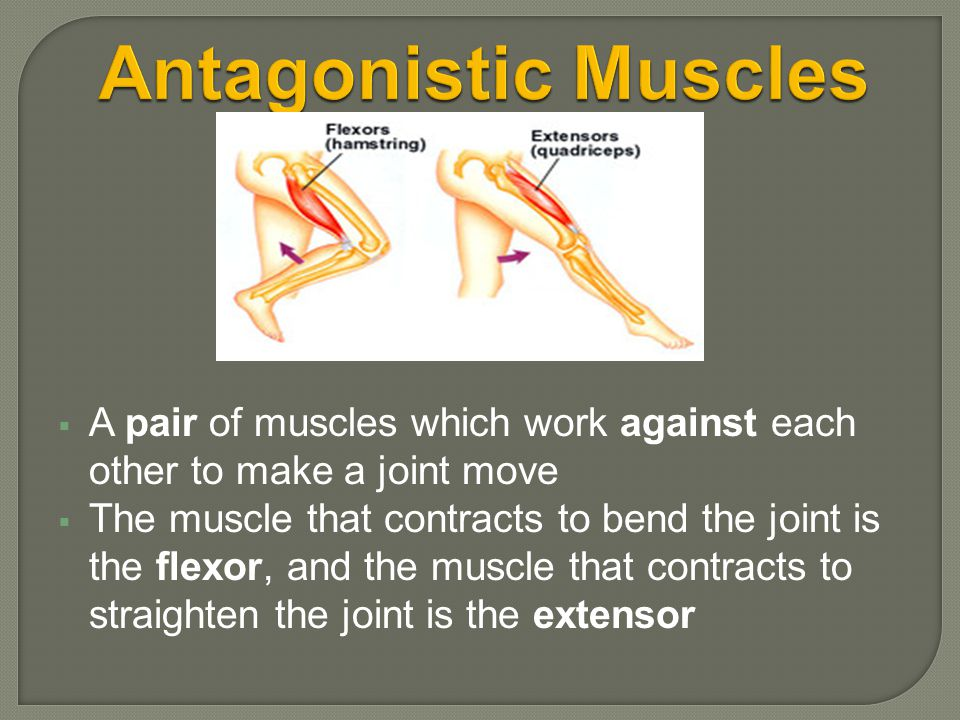  A pair of muscles which work against each other to make a joint move  The muscle that contracts to bend the joint is the flexor, and the muscle tha