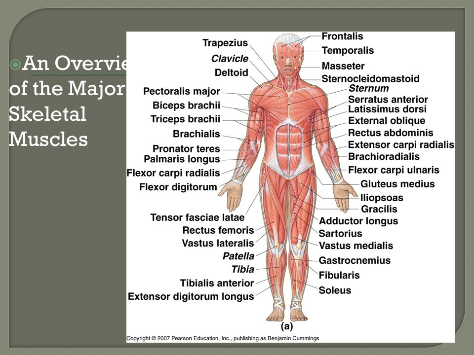  An Overview of the Major Skeletal Muscles