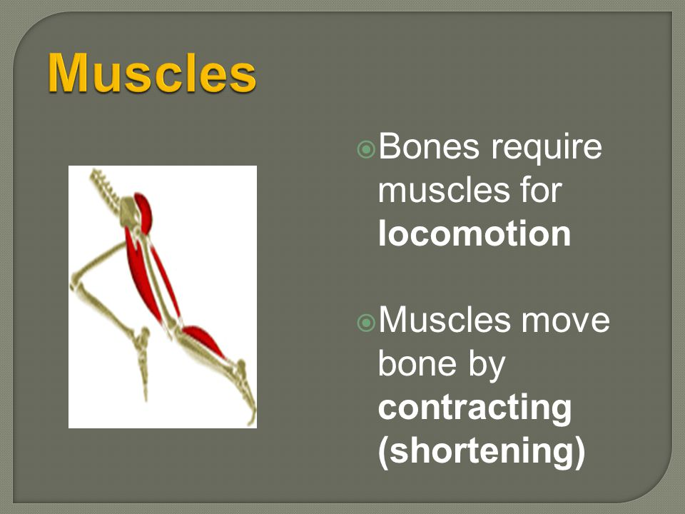1.Muscles move bones. Muscles are attached to the bone by tendons.