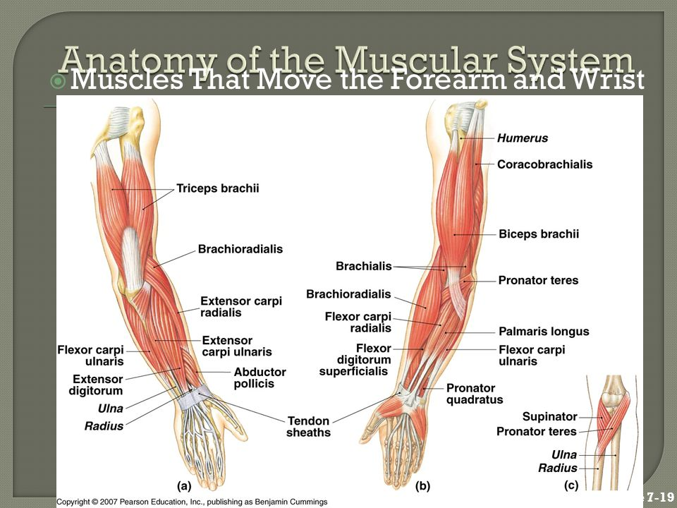  Muscles That Move the Forearm and Wrist Figure 7-19