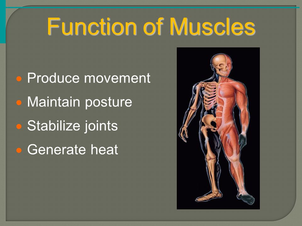 Function of Muscles  Produce movement  Maintain posture  Stabilize joints  Generate heat