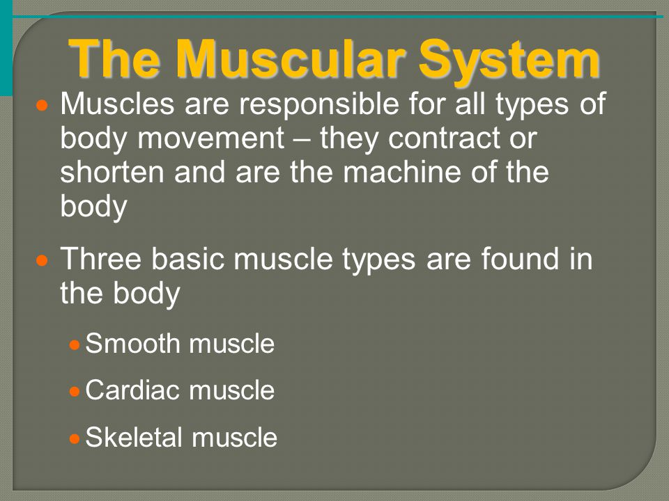 The Muscular System  Muscles are responsible for all types of body movement – they contract or shorten and are the machine of the body  Three basic