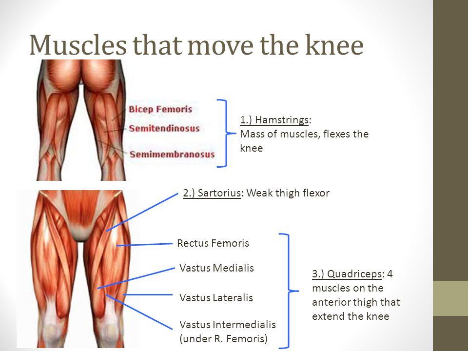 Muscles that move the knee 1.) Hamstrings: Mass of muscles, flexes the knee 2.) Sartorius: Weak thigh flexor Rectus Femoris Vastus Medialis Vastus Lateralis Vastus Intermedialis (under R.