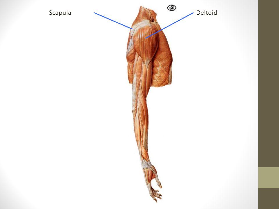 DeltoidScapula