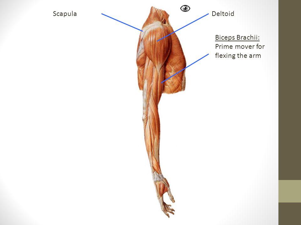 DeltoidScapula Biceps Brachii: Prime mover for flexing the arm