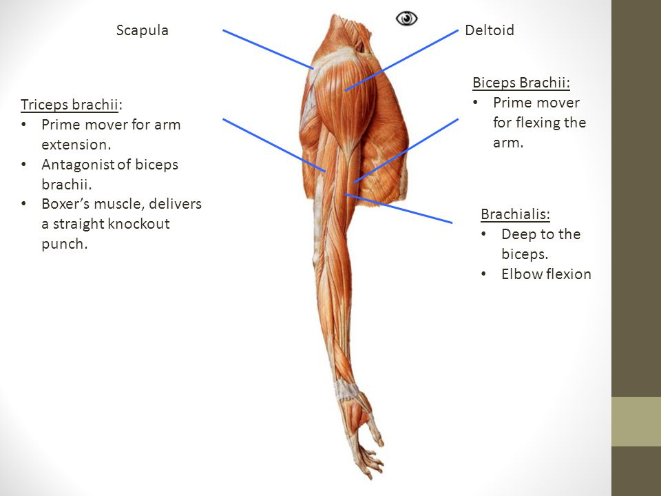 DeltoidScapula Biceps Brachii: Prime mover for flexing the arm.