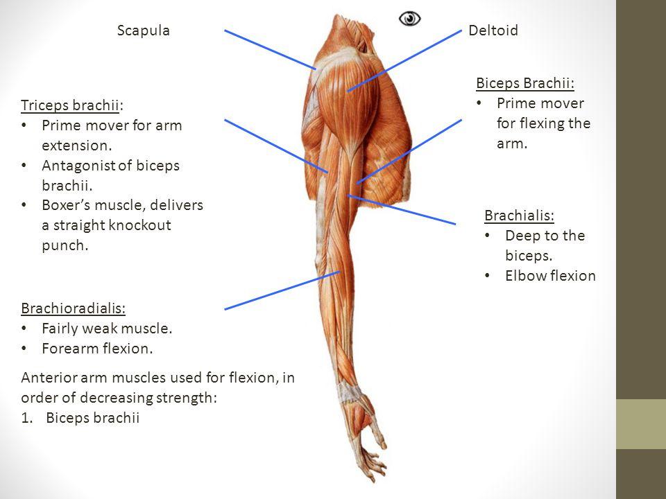 DeltoidScapula Biceps Brachii: Prime mover for flexing the arm. Triceps brachii: Prime mover for arm extension. Antagonist of biceps brachii. Boxer's