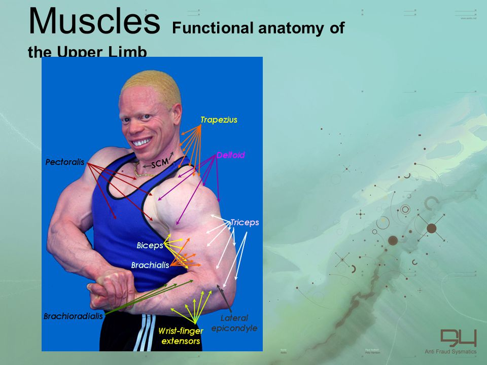Muscles Functional anatomy of the Upper Limb