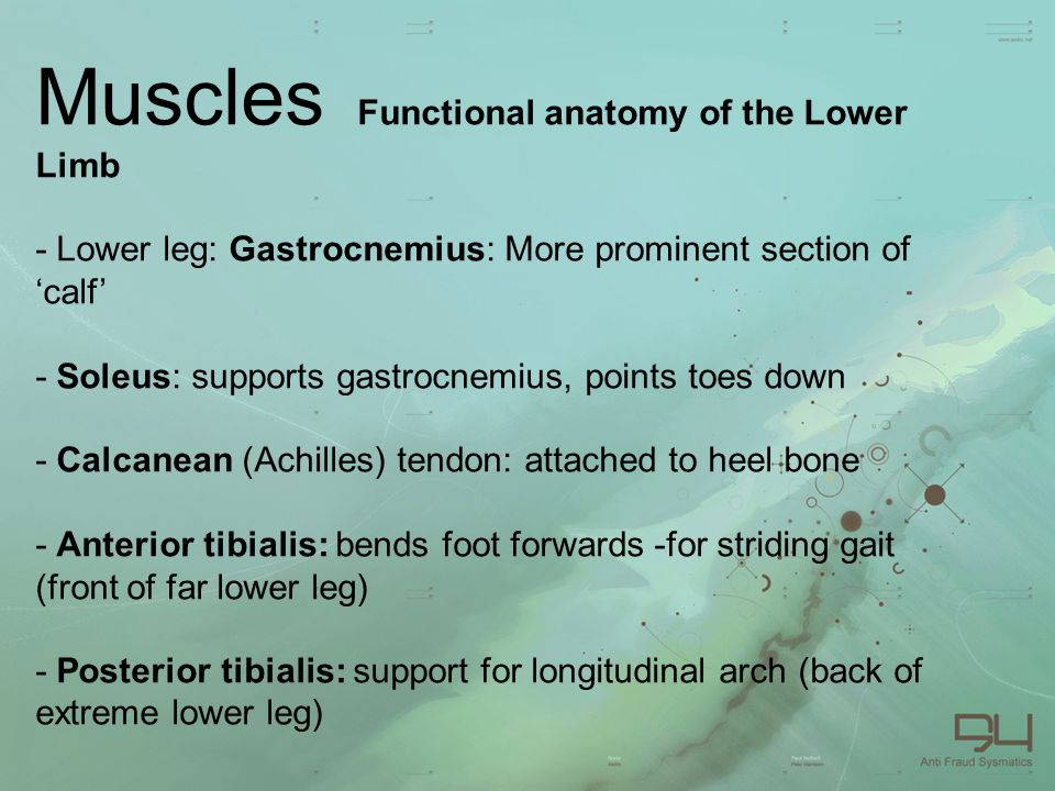Muscles Functional anatomy of the Lower Limb - Lower leg: Gastrocnemius: More prominent section of 'calf' - Soleus: supports gastrocnemius, points toes down - Calcanean (Achilles) tendon: attached to heel bone - Anterior tibialis: bends foot forwards -for striding gait (front of far lower leg) - Posterior tibialis: support for longitudinal arch (back of extreme lower leg)