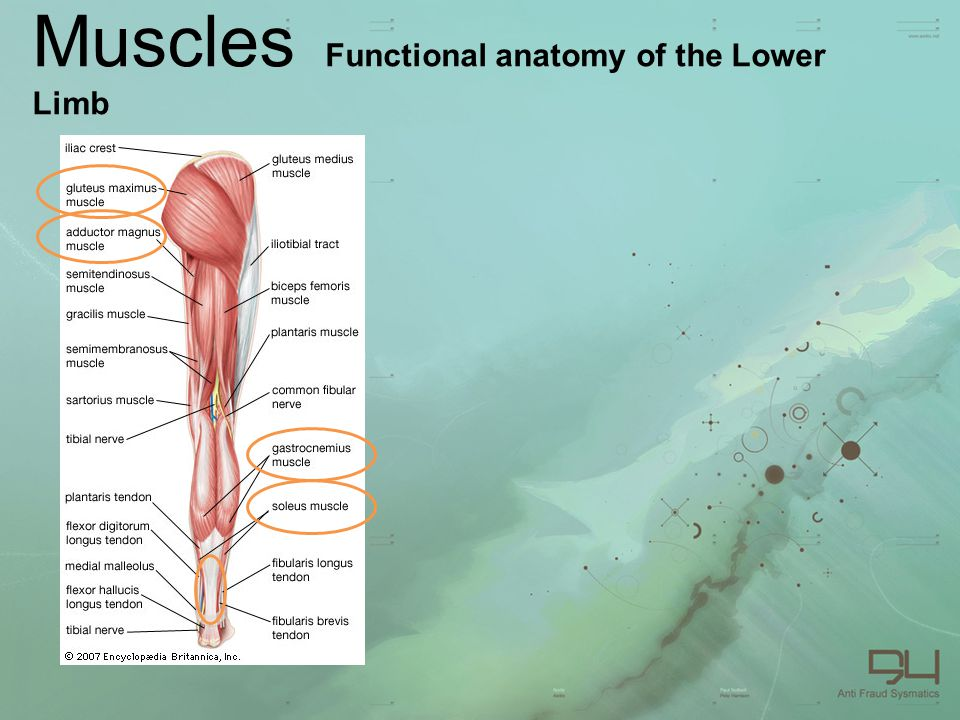 Muscles Functional anatomy of the Lower Limb