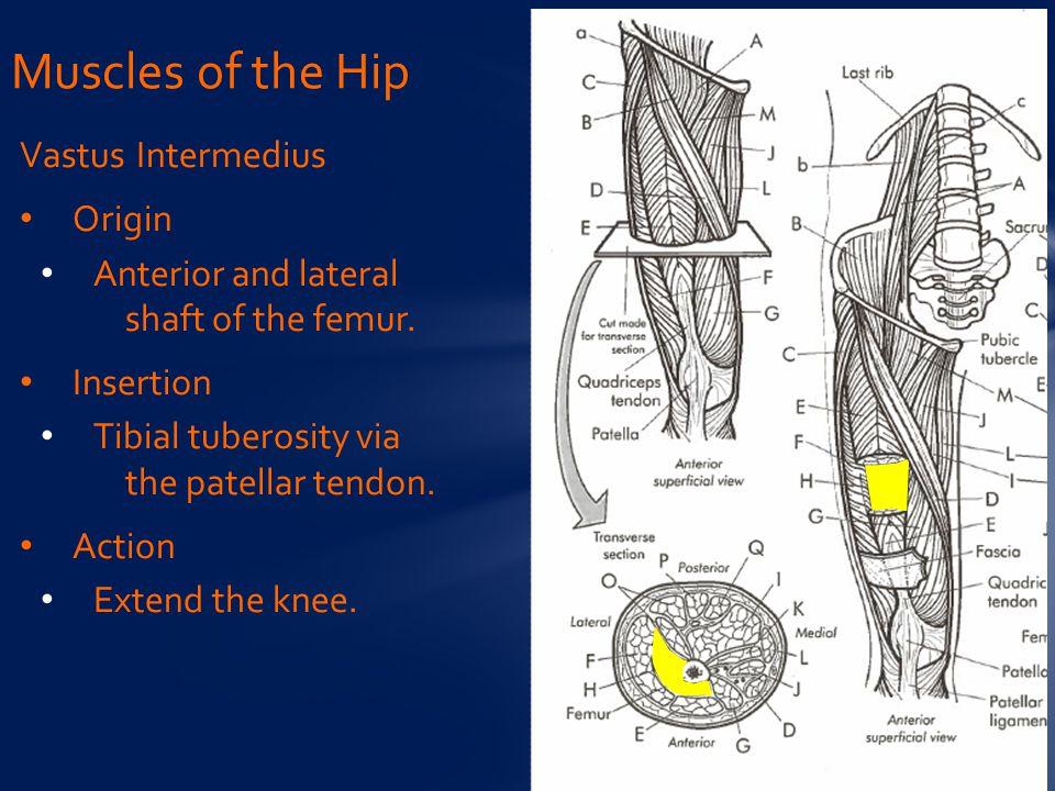 Vastus Intermedius Origin Anterior and lateral shaft of the femur.