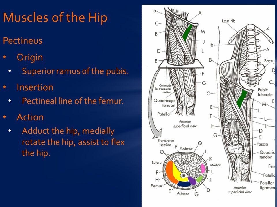 Pectineus Origin Superior ramus of the pubis.Insertion Pectineal line of the femur.