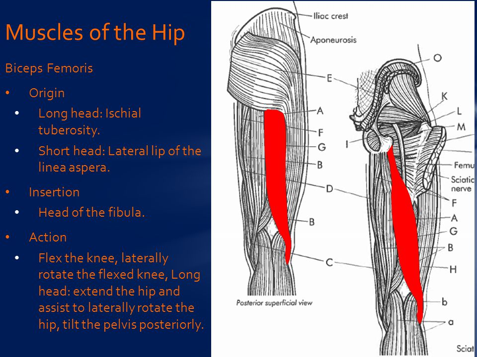 Biceps Femoris Origin Long head: Ischial tuberosity.