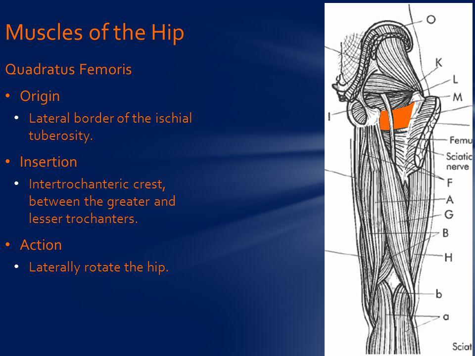 Quadratus Femoris Origin Lateral border of the ischial tuberosity.