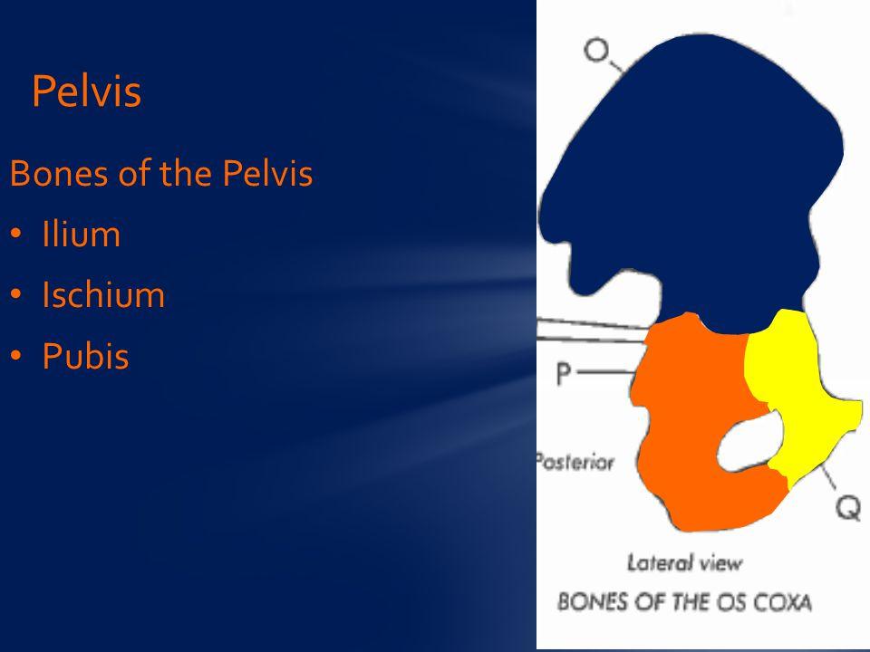 Bones of the Pelvis Ilium Ischium Pubis Pelvis