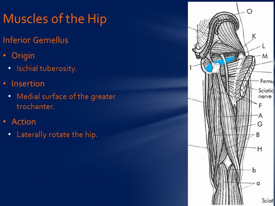 Inferior Gemellus Origin Ischial tuberosity.Insertion Medial surface of the greater trochanter.